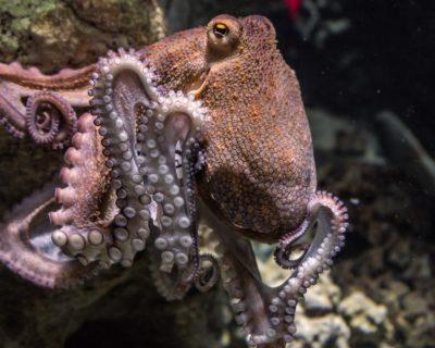 La pieuvre (Cavalier sur la 6e rangée)